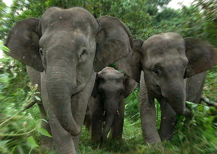 Asian Elephant Pictorial
