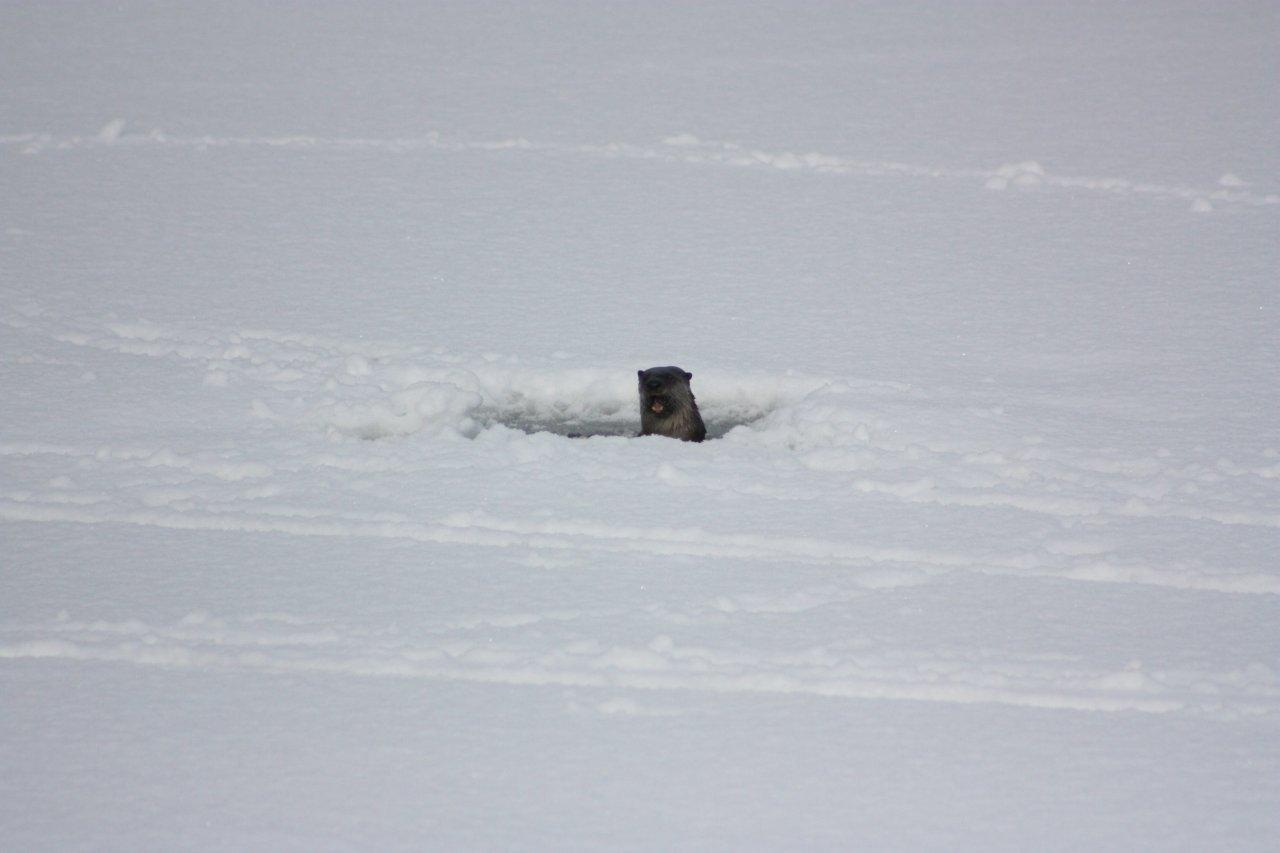 Whistler 39 s wild things the otter ice fishing on green lake for Otter ice fishing