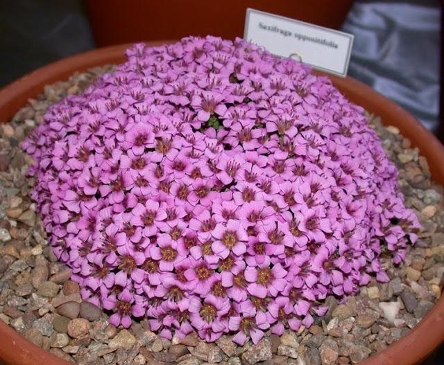 Saxifraga x arendsii 'purple robe'