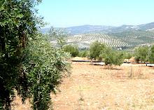 Ruta del Aceite: los olivares