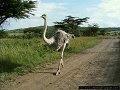 Ostrich (Goroyo)