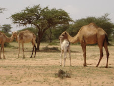 Somali Camels