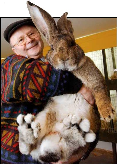 holländsk kanin