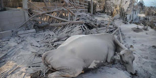 hewan hewan ternak di terjang awan panas wedus gembel