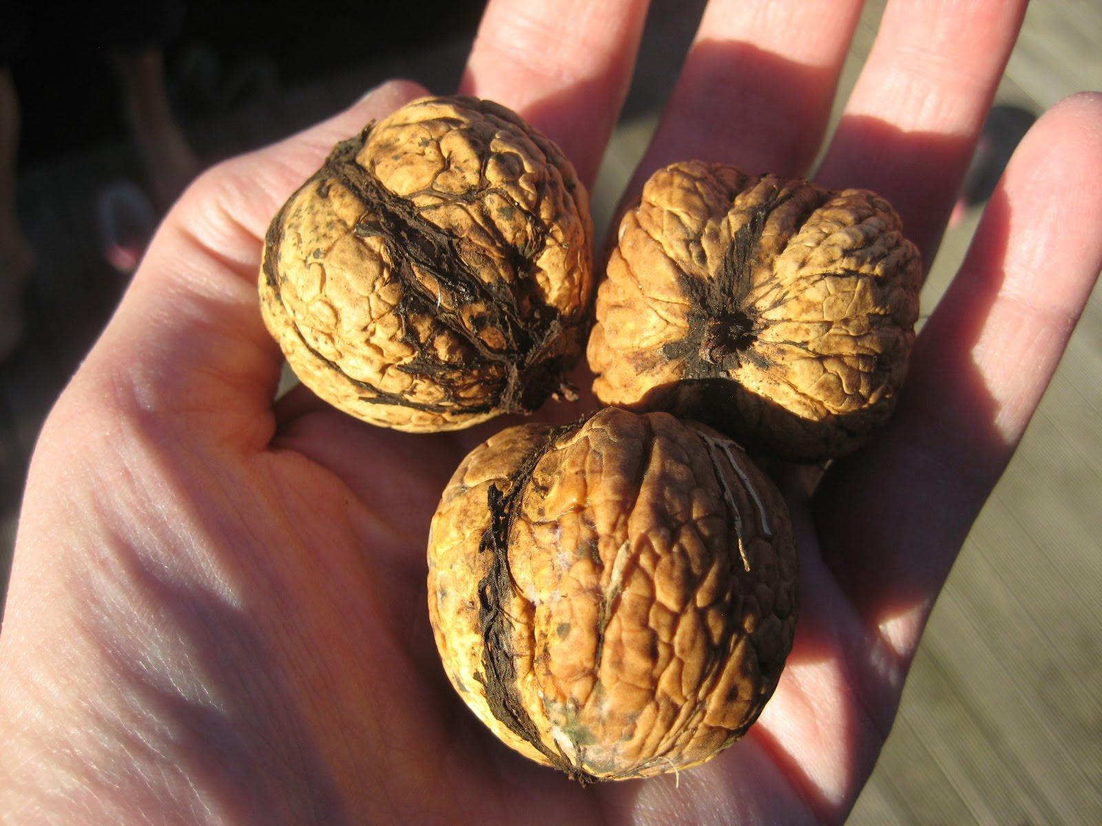 Выращивание грецкого ореха из семян ЧАСТНЫЙ ДОМ. САД 2