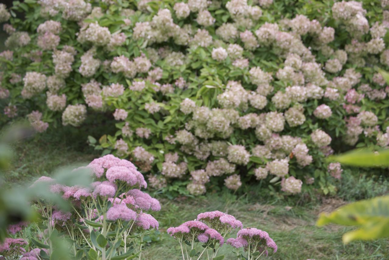 Hydrangea Poisonous To Cats And Dogs