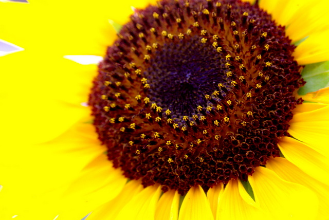 向日葵の視線