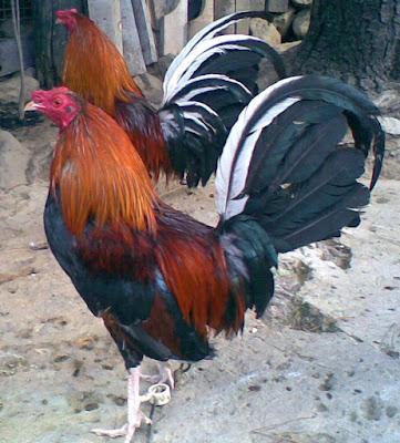 fotografia que muestra como es una raza de gallos finos de linea en colombia