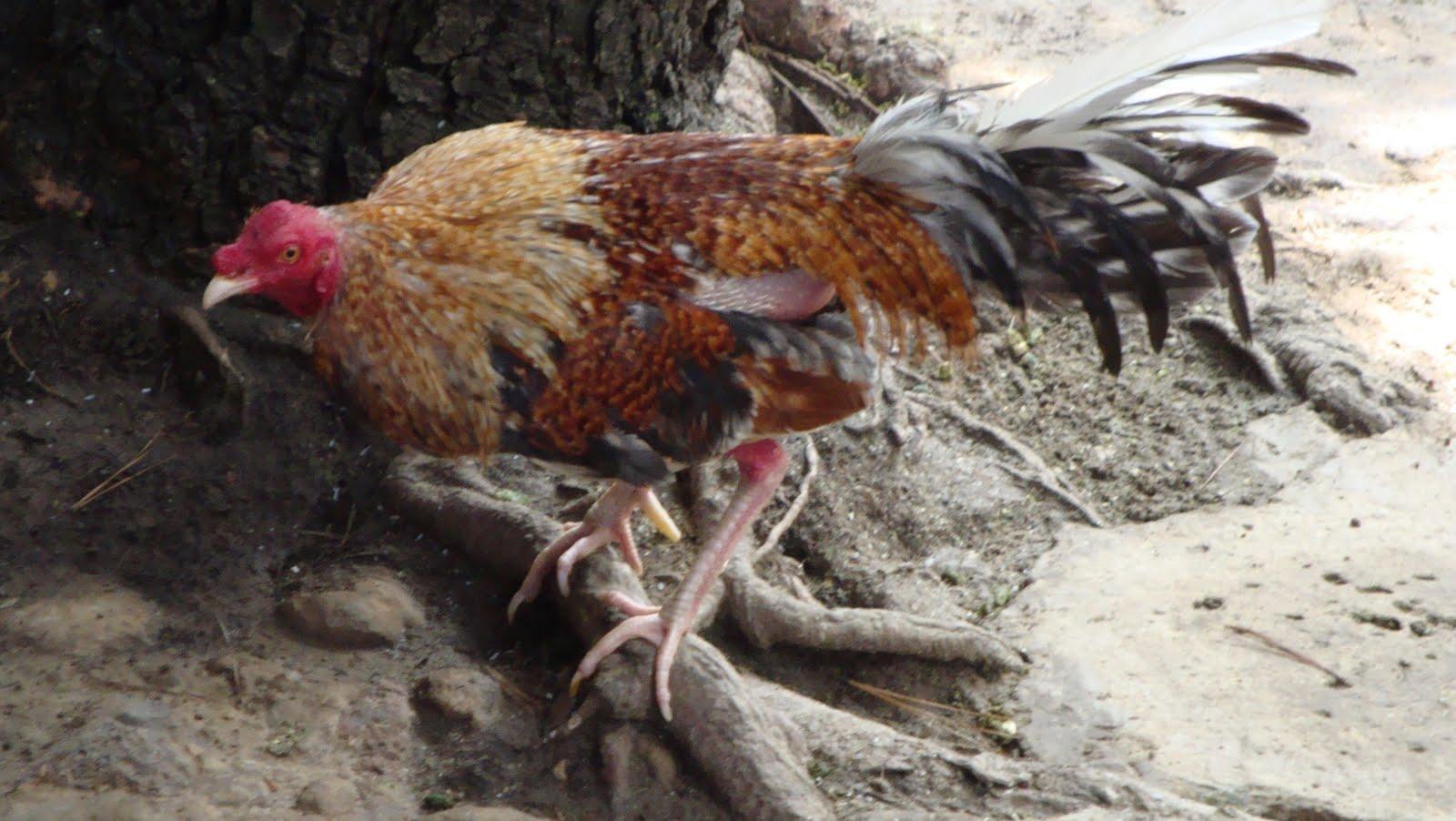 gallo finos colombiano: