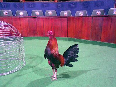 pollos de pelea en la gallera de colombia para combatir