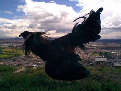 gallo de pelea en las montañas colombianas con muy buen plumaje