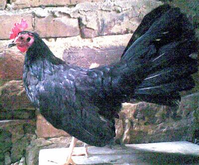 impresionante gallina fina de cola larga del criadero los zorro