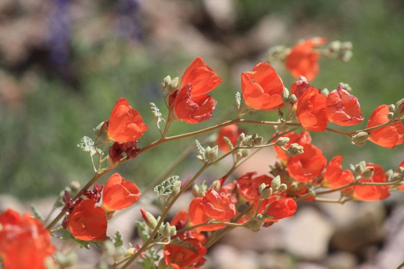 waterrose handcrafted obsessions desert wildflowers arizona