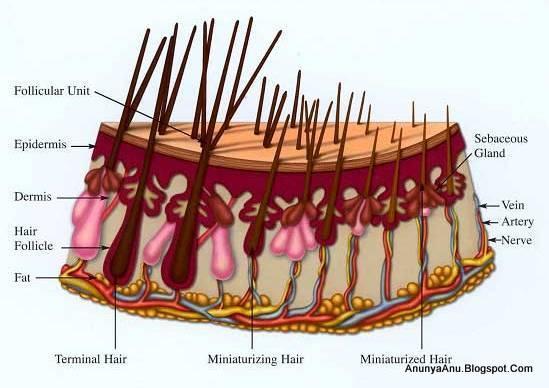 Folikel Rambut Pada Orang Berambut Pirang Lebih Banyak Dibanding Warna Lain