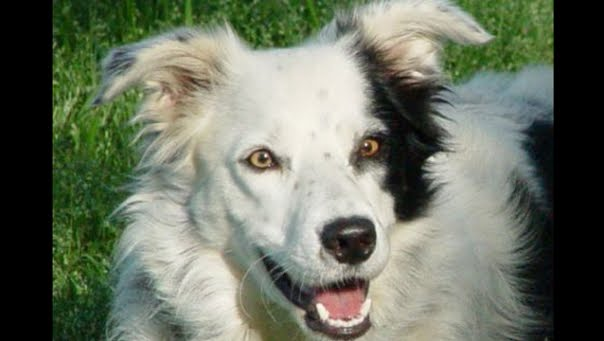 A border collie named Chaser has learned the names of 1022 individual items