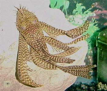 Les Poissons d'Aquarium fabriqués Lace3