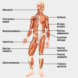 health disorders: purpose of 11 human body system, Muscles