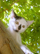 PANDA CAT