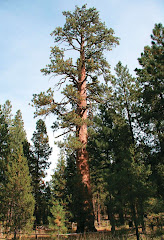 Ponderosa Pine