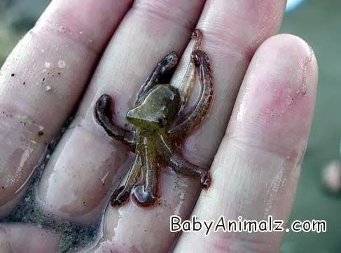 Nerdynet Baby Octopus And Other Cephalopods