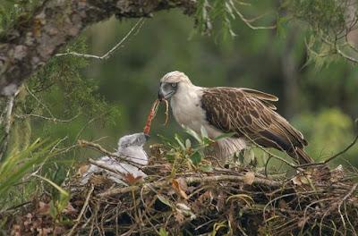 Falconiformes. Família  Acciptridae - Subfamília Buteonidade-Águias coroadas - gênero Pitecophaga jefferyi . Águia das Filipinas. Philippine+eagle+2a