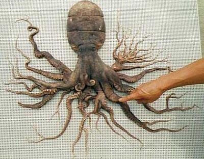 grenz|wissenschaft-aktuell: Bizarre Laune der Natur: Polydaktyle Kraken