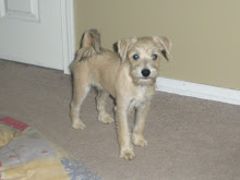 "Our new puppy "" Cooper "" Mini Schnauzer / Jack Russell"