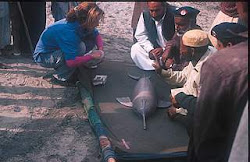 Ganges river dolphin poaching
