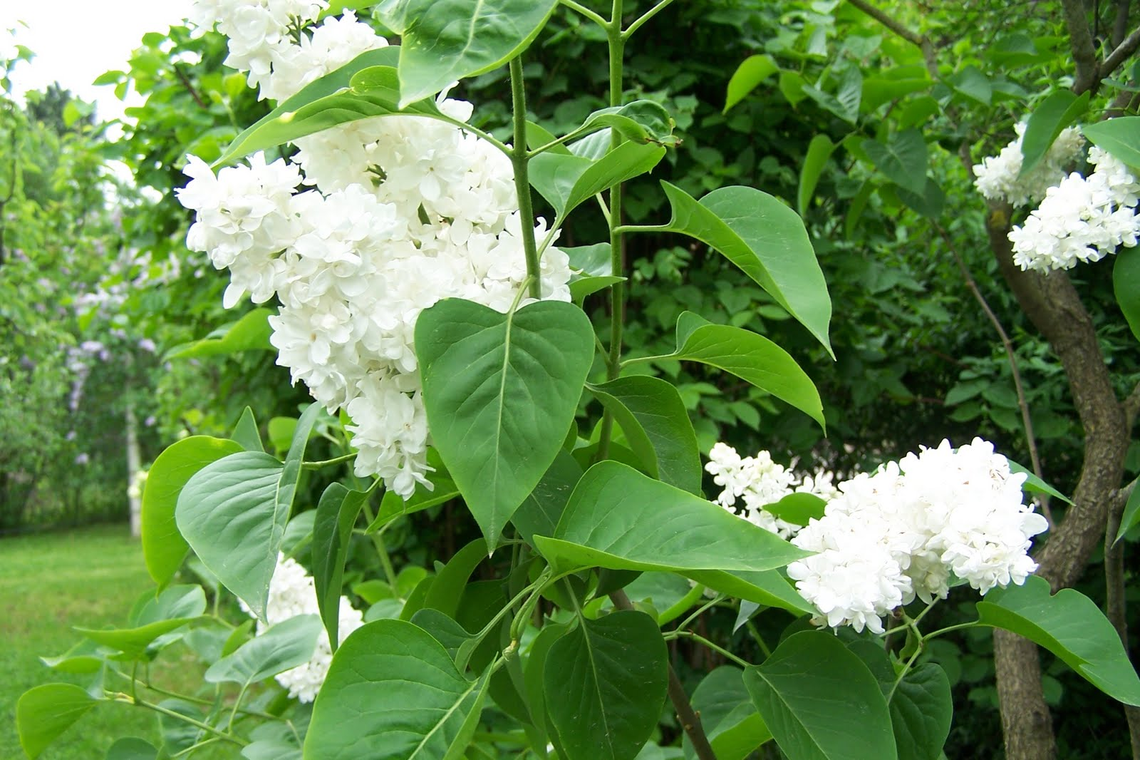 Eccomi fiori bianchi splendenti profumati e cavalli for Fiori bianchi profumati