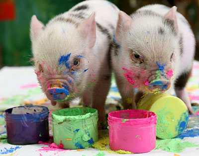 Teacup pigs or Micro minis