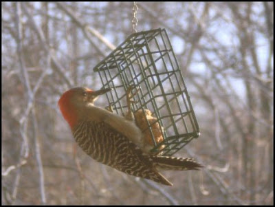 woodpecker on suet feeder