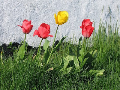 tulips in the lawn