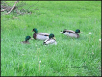 four-ducks