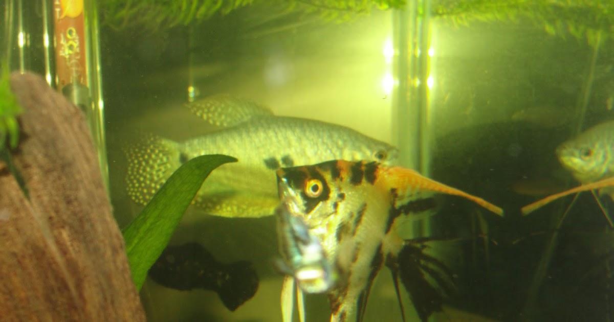 freshwater fish keeper angelfish care