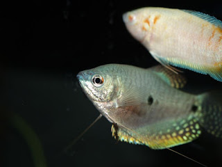 blue gourami care/Three Spot Gourami