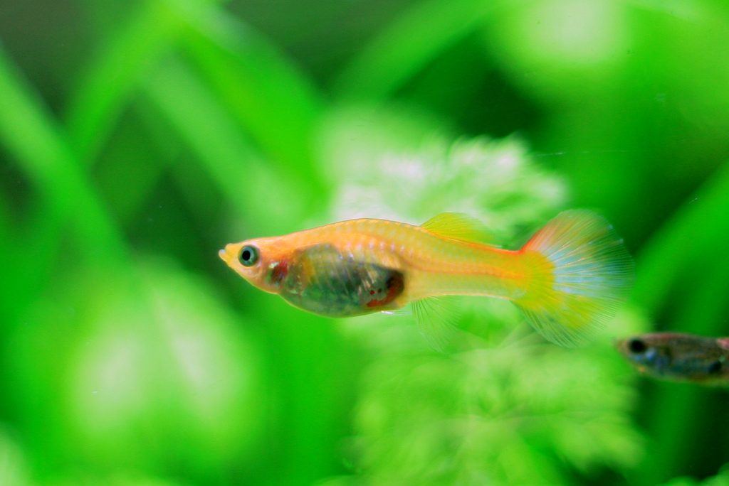 Freshwater fish keeper fancy guppy care for How long is a guppy fish pregnant