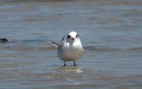 1st Summer Forster's Tern