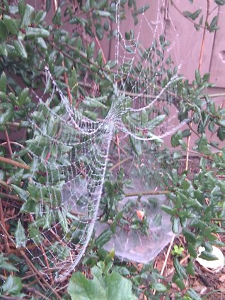 Spider web laden with dew.