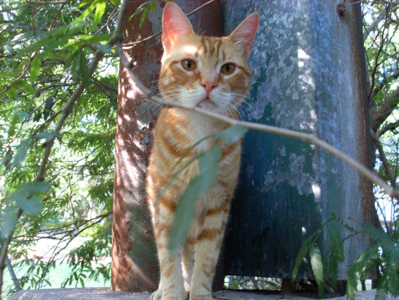 [Perseo+gato+naranja+en+adopcion]