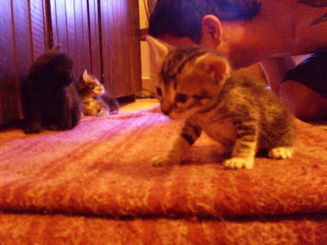 [gatitos+en+adopcion+regalo+diciembre+2008]
