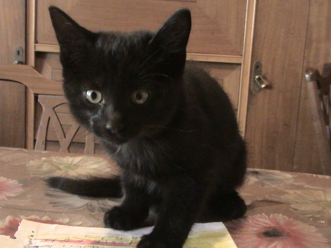 Dos gatitos negros muy bebés en adopción urgente
