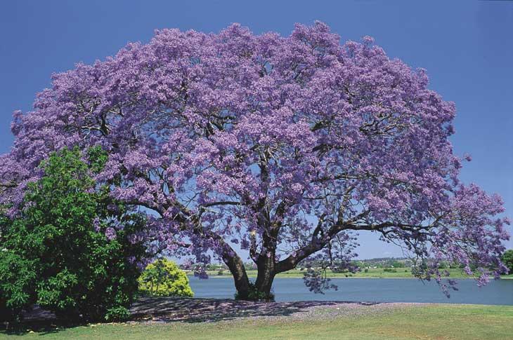 Čudno i usamljeno drveće - Page 2 Jacaranda+tree+lovely+symmetrical