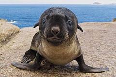 Un nadó de foca