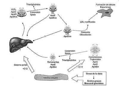 colesterol hdl mic alimentatie