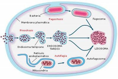 digestion celular