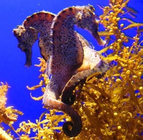 caballo de mar. caballo de mar.