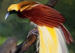 THE HEAVENLY BIRDS IN PAPUA