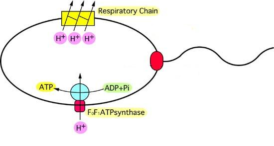 Life Of A Lab Rat Bacterial Cell Division And Membrane Potential