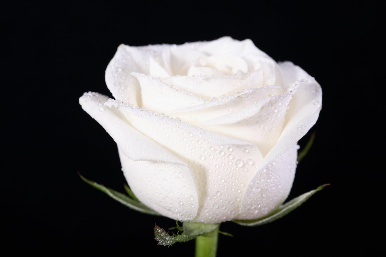 Rosas blancas significado imagui - Significado rosas blancas ...