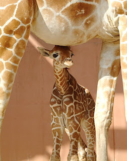 Mother Sheltering Baby Giraffe